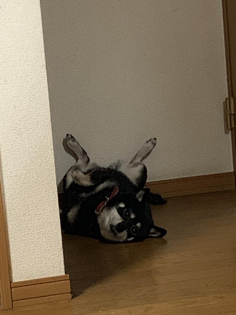 我が家の愛犬、黒柴の「リン」です。